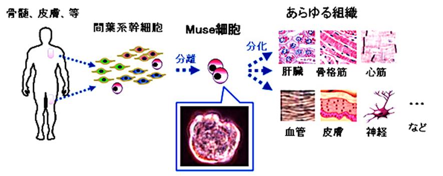MUSE細胞